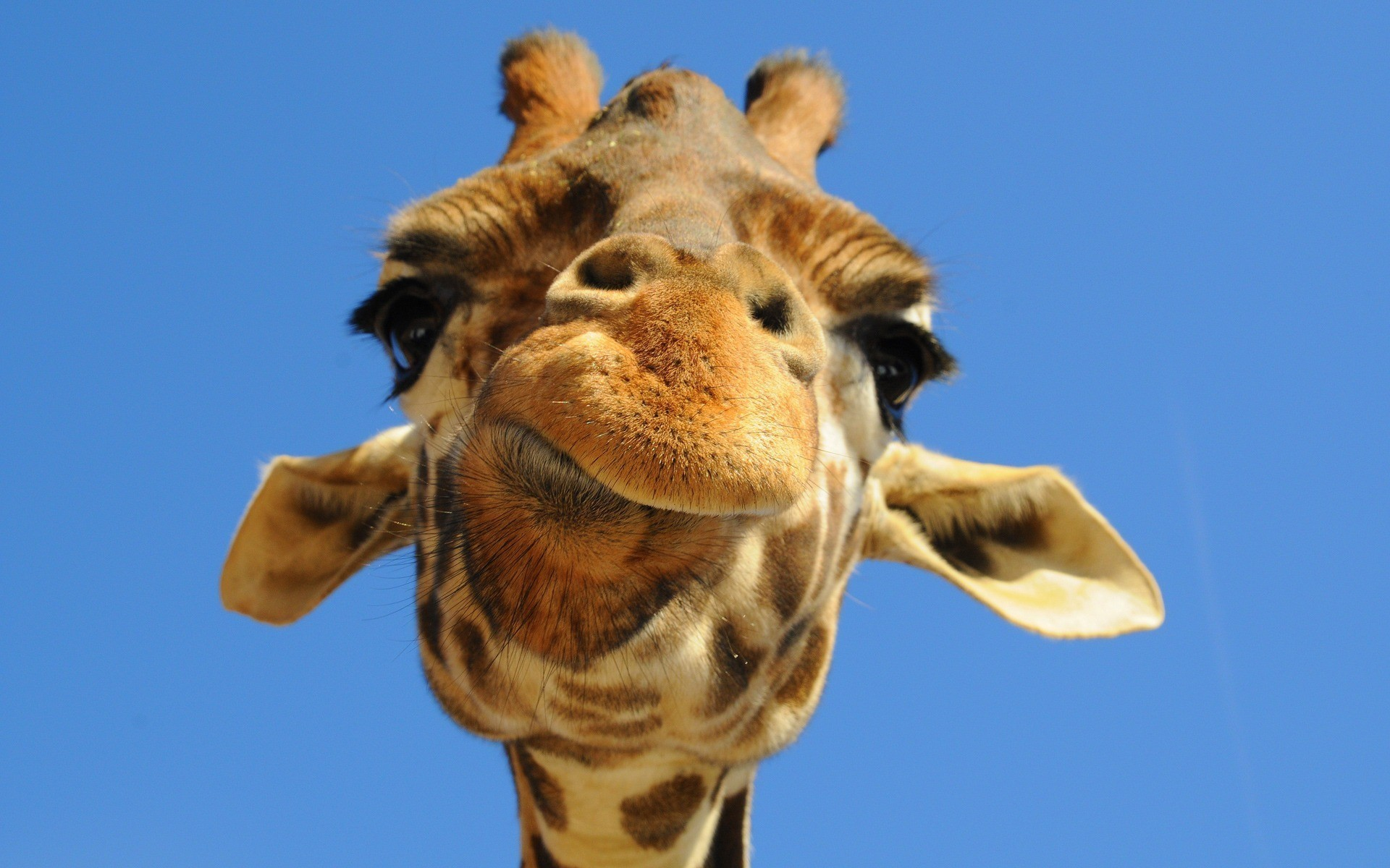 Shows the derpy head of a giraffe