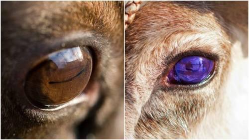 Left: golden brown reindeer eye, right: violet-blue reindeer eye