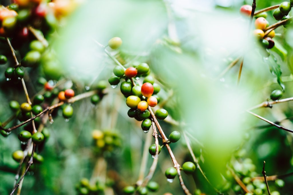Image of coffee fruit growing on a tree
