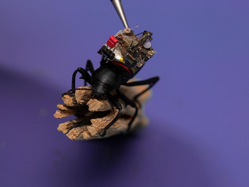 Picture of a beetle with a camera on its back on a bit of twig.