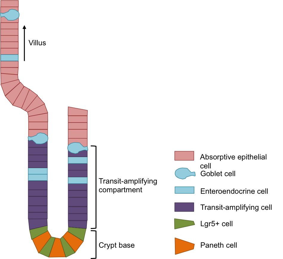 Schematic of the crypt and villus structure that lines the gut, indicating the different cell types.